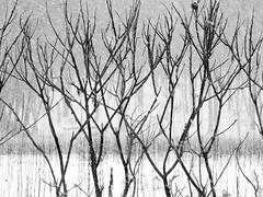 Snowing (BRB1952) Tags: annarbor nicholsarboretum winter michigan snow