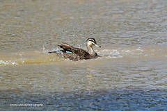 Pacific Black Duck - splashing (0631) (Oz Nature Shots) Tags: pacificblackduck duck ducks pacific black bird birds wader large waterfowl chestnut dabbling australia birdlife emmysilvius emmy silvius oznatureshots fauna nature wings bill white green brown grey buff rocks victoria vic southaustralia sa water wetlands river bay feathers anassuperciliosa preening flight flying stripe