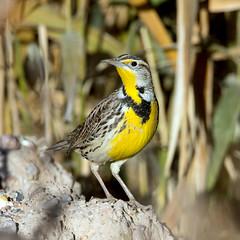 Western Meadowlark (Ed Sivon) Tags: america canon nature lasvegas wildlife wild western southwest desert clarkcounty clark vegas bird henderson nevada