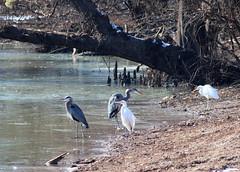 Herons and Egrets Gathering 002 (Val Hightower) Tags: whiteegrets egret greatblueheron heron frozen bellslough bell slough lakeconway conway mayflowerarkansas mayflower arkansas