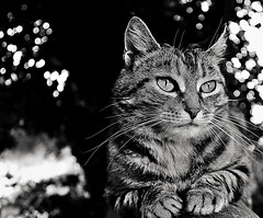 Tabby cat (Zèè) Tags: cat chat cats tabby tiggy black blanc blackandwhite bw white noir noirblanc normandy monochrome bokeh light