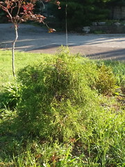 09-23-17 Dayton 05 spider web (Chicagoan in Ohio) Tags: dayton morningglories spiderwebs