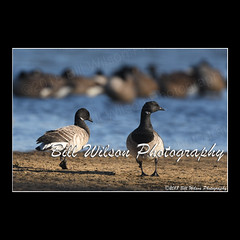 brants (wildlifephotonj) Tags: brant brants brantgeese geese goose wildlifephotographynj naturephotographynj wildlifephotography wildlife nature naturephotography wildlifephotos naturephotos natureprints birds bird
