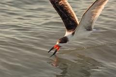 Black Skimmer Foraging (rlb1957) Tags: blackskimmer rynchopsniger feeding skimming foraging beach sanibelisland florida