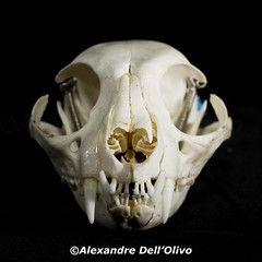 Felis sylvestris_DSC0744 (achrntatrps) Tags: crânes skulls bones os animals nikkor d800 pce45mmf28 alexandredellolivo suisse lachauxdefonds lycéeblaisecendrars collection sb900 sb800 achrntatrps achrnt atrps photographe photographer flash felidae félidés felid cat chat gatto felissylvestriscatus kitten matou katze