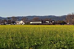 Among the mustard (caltrain927) Tags: napa valley wine train nvrr railroad quattro vino passenger emd gp382 ex ns southern high hood oakville california ca