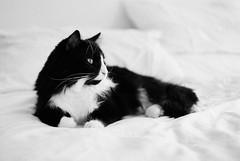 Calm and Gracefulness (mmaslyuk) Tags: vancouver tmax blackandwhite kodak canonet17 canonet canon film analog cat