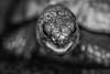Turtle (grasso.gino) Tags: tiere animals natur nature zoo dortmund nikon d5200 schildkröte turtle schwarzweis nahaufnahme monochrome closeup
