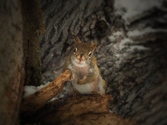 Pee Wee (LupaImages) Tags: squirrel redsquirrel tiny runt face winter tree animal wild wildlife maple fur cold food sweet outdoors outside
