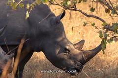 IMG_8858 (tompilgrim) Tags: africa bigfive ceratotheriumsimum conservation dragoman endangered nationalpark rhino safari uganda white ziwa horn mammal pachyderm rhinoceros sanctuary