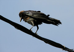 Black on Black (Mahmoud R Maheri) Tags: bird crow housecrow corvussplendens srilanka sky wire black electicwire perch flying galle