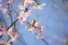 _DSC0706.jpg (plasticskin2001) Tags: mejiro sakura flower bird