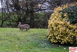 IMG_ 9502 Wild Rabbit (1 of 1)