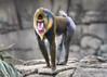 Mandrill (brian.pipe) Tags: nikon d500 80 400 afs mandrill dallas zoo dfw texas tx