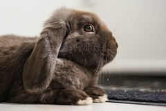 Brown rabbit (gianluca.photography) Tags: 18 50mm brown nature animal rabbit