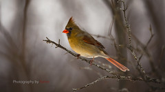 Shot of the day...... (Photography by Ramin) Tags: northern cardinal female feather beautyoffeather beauty ottawa mud lake winter canada