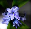 Hyacinth. (CWhatPhotos) Tags: color colors colours colour photographs photograph pics pictures pic picture image images foto fotos photography artistic cwhatphotos that have which with contain digital camera lens olympus tg4 macro flowers flower nature vibrant closeup close up macrolens f35 blue purple heads head hyacinth shadows shadow light lidl lidlflowers green plant petals petal