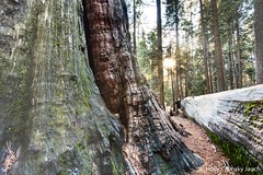 Ancient sequoia forest (Holly Calinsky Jauch) Tags: redwoods california trees calaverascounty arnold sequoia bigtreesstatepark sierranevada