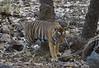 Bengal tiger (praveen.ap) Tags: bengal tiger bengaltiger royal royalbengaltiger king ranthambore ranthambhore ranthambhorenationalpark ranthambhoretigerreserve zone2 2 t57 57 singhsth rajasthan sawaimodhapur