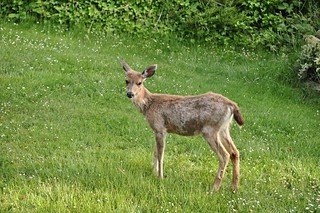 Young buck on the lawn 10