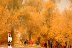 Reflection (MelindaChan ^..^) Tags: populuseuphratica desertpoplar willow 胡楊 胡楊樹 內蒙古自治區 內蒙古 innermongolia china 內蒙 forest yellow gold golden autumn tree chanmelmel mel melinda melindachan trunk plant desert 沙漠 額濟納旗 額濟納 people tourist 二道橋 四道橋