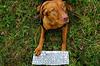 Enter Uplink (Lutz Koch) Tags: dog magyarvizsla kátya hungarianvizsla pointer tastatur pc computer et hund kutya vorstehhund keyboard callhome nachhausetelefonieren elkaypics lutzkoch