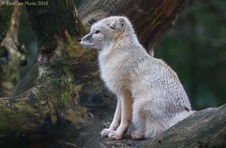 Steppenfuchs - Corsac fox