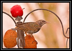 """Snow Starlings..."" (NikonShutterBug1) Tags: nikond7100 tamron70300mm birds ornithology wildlife nature spe smartphotoeditor birdfeedingstation bokeh starling birdsfeeding wingwednesday"