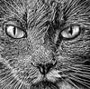 Cat stare (FotoGrazio) Tags: waynegrazio waynesgrazio animal art artofphotography blackandwhite cat cats composition contrast eyes face feline fineart fotograzio fur highcontrast kitten kitty meow nose painterly pet pets photoeffect photomanipulation phototoart phototopainting portraiture texture whiskers
