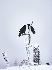 Ravens having a discussion (CecilieSonstebyPhotography) Tags: bokeh corvuscorax birds commonraven canon ravner snow norway trees markiii tree canon5dmarkiii discussion chatting white bird northernraven mountain