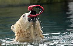 Polarbear Blijdorp BB2A1143 (j.a.kok) Tags: bear beer ijsbeer polarbear noordpool northpole animal arctic mammal zoogdier dier blijdorp ursusmaritimus sizzl todz