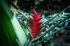 2017 - Regent Cruise - Martinique - Plant Life (Ted's photos - Returns Late November) Tags: 2017 cropped martinique nikon nikond750 nikonfx regentcruise tedmcgrath tedsphotos vignetting flower bokeh red redrule plant greenery green flora
