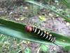 3Oruga Pseudosphinx tetrio Palomino (nicolas.mejia7) Tags: oruga pseudosphinx palomino guajira naturalista gusano colombia