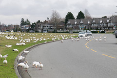 Snow Geese invade Richmond (quinet) Tags: 2017 2018 britishcolumbia canada chencaerulescens richmond snowgeese vancouver 124