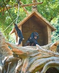Changlong Zoo and Safari Park 033 (C & R Driver-Burgess) Tags: pea fowl cock hen chimp ape primate meerkat macaw bear play groom swim preen mother