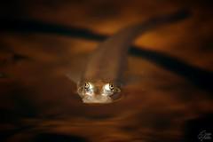 Strange (Sonia Valdes) Tags: pesce occhi quattroocchi acqua marrone water fish close up