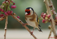 Goldfinch. (ronalddavey80) Tags: goldfinch canon eos70d tamron 70300mm
