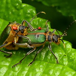 Leaf beetles mating, Dircema sp., Chrysomelidae with red mites thumbnail