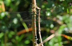 Southern Hawker- Nine Barrow Down Dorset - 100817 (4) (ailognom2005) Tags: dragonfliesanddamselflies southernhawker ninebarrowdowndorset insects britishinsects britishinsectwildlife dorset dorsetwildlife macro