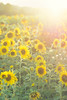 SUNflowers (fresch-energy) Tags: blume flower flowers blumen sonnenblume sunflower sonne sun sunset sundown sunshine sunlight sunny sonnenuntergang sonnenlicht sonnenschein sonnig sony a77 natur nature