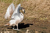 Juvenile Swan (Airwolfhound) Tags: swan godmanchesternaturereserve bcn wt