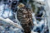 IMG_8617 coopers hawk (starc283) Tags: starc283 wildlife flickr flicker canon canon7d bird birding birds hawk cooperhawk outdoors outdoor nature naturesfinest naturewatching