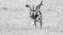 "little ""Dumbo"" (Blende1.8) Tags: dog action running ear ears flying flyingdog segugio segugioitaliano mix mischling hund pet hündin haustier inaktion wiese weide feld outdoor fun field spass mono monochrome monochrom schwarzweiss sony alpha a6300 6300 ilce6300 emount auberg mülheim animal"