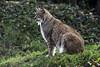 Luchs (Michael Döring) Tags: gelsenkirchen bismarck zoomerlebniswelt zoo luchs lynx afs200500mm56e d850 michaeldöring