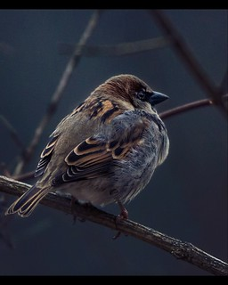 Little House Sparrow