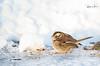 whitethroated_sparrow-4893 (Rajesh Photo) Tags: whitethroatedsparrow plumisland birdphotography bird winter newenglandwinter newengland