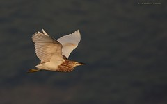 Pond Heron in flight. (MCSindagi) Tags: sony sonyindia sonyrx10iv sonyrx10mkiv sonyrx104 sonyrx10m4 pondheron birds pondheroninflight bengaluru karnataka action affinityphotoforipad affinityphoto snapseed