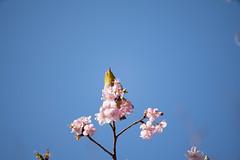 _DSC0811.jpg (plasticskin2001) Tags: mejiro sakura flower bird