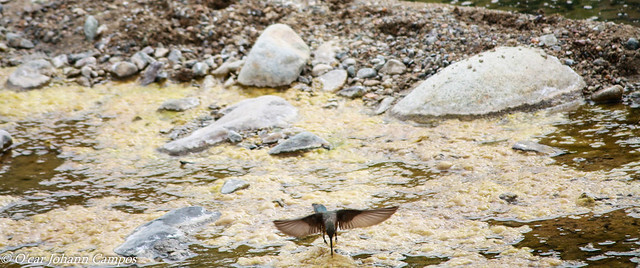 Picaflor gigante - Giant hummingbird
