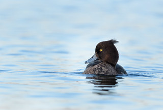 The rare tufted-duck blesses me with his appearance.